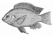 هزینه پرورش ماهی تیلاپیا