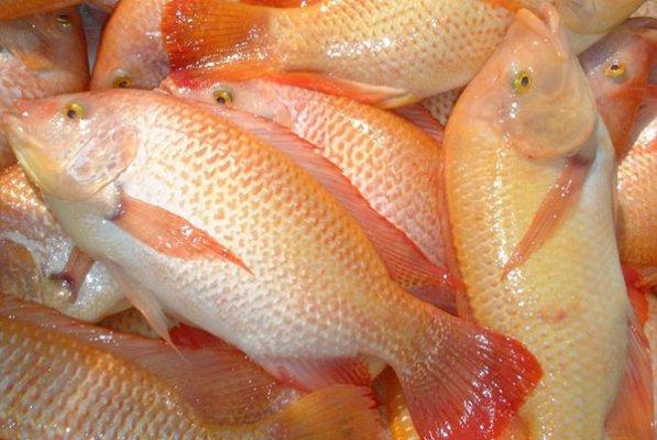 شایعه در مورد ماهی تیلاپیا