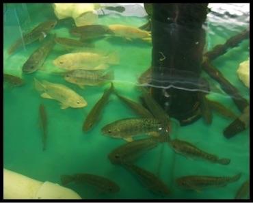 فروش ماهی تیلاپیا زنده در سایزهای مختلف