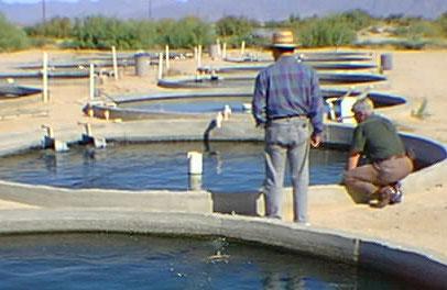 شرایط پرورش ماهی تیلاپیا باید چگونه باشد