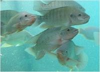 نیاز های پرورش ماهی گرمابی
