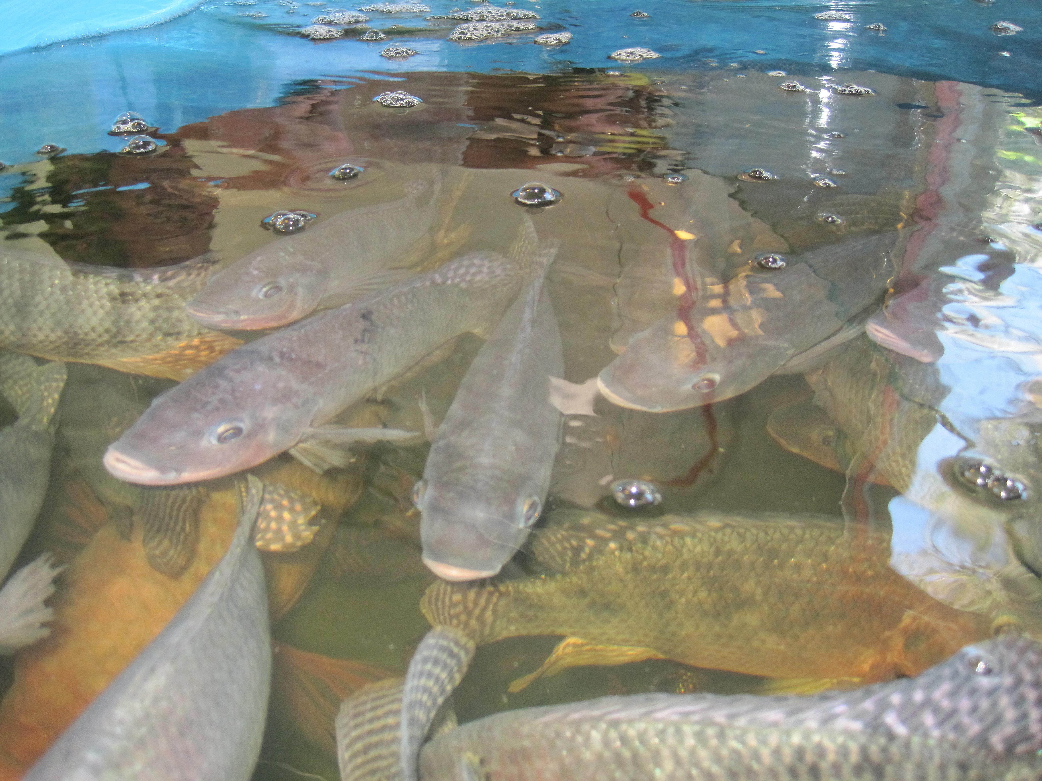 رشد 6 درصدی پرورش ماهی تیلاپیا در جهان