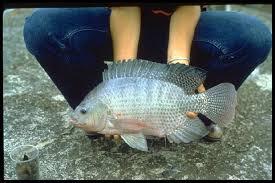 """چرا به تیلاپیا """"ماهی سبز"""" گفته میشود؟"""