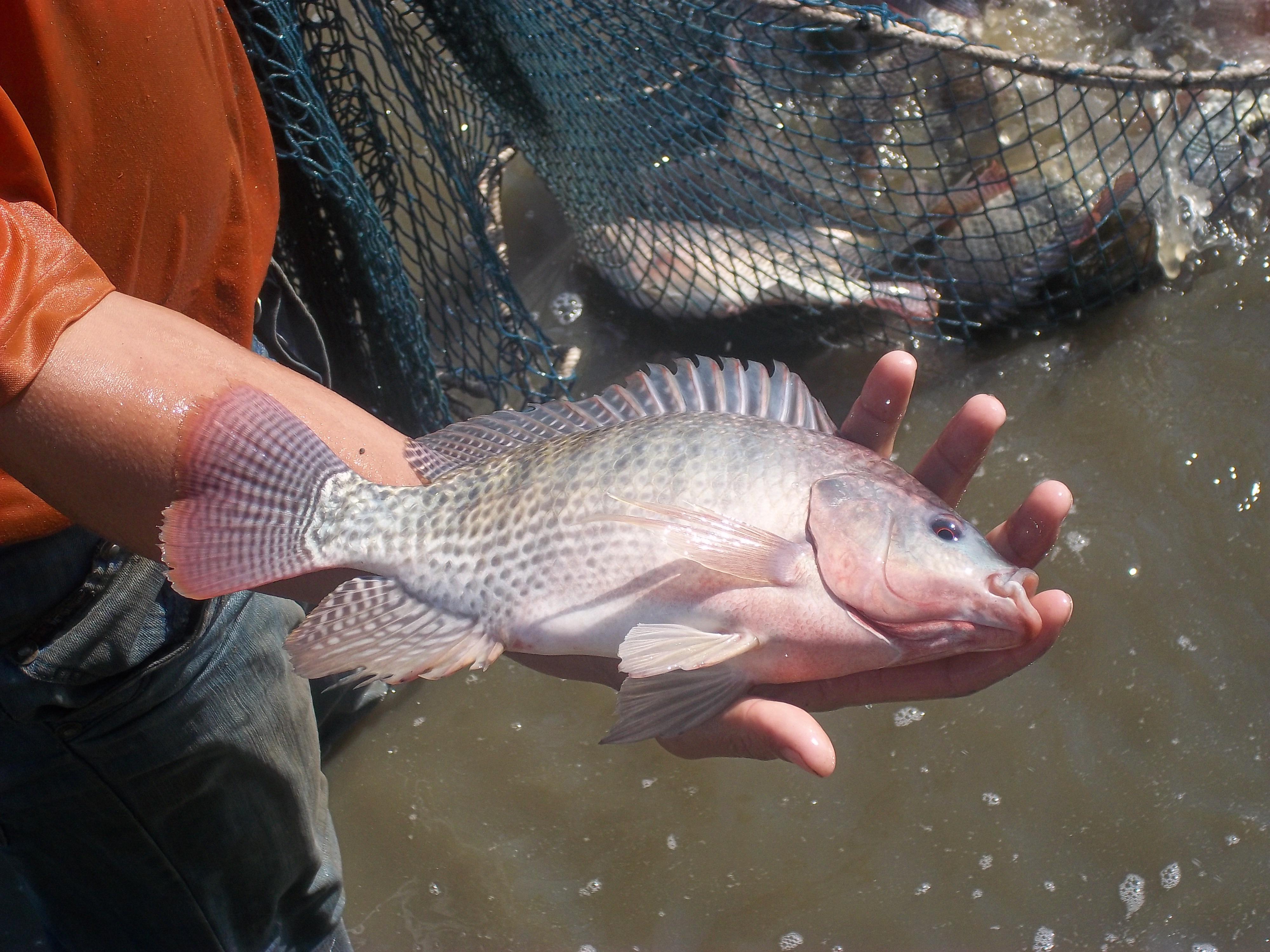 خرید ماهی تیلاپیا مولد در سایز مختلف