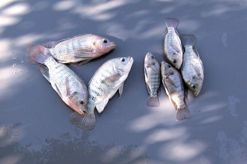 فروش بچه ماهی تیلاپیا زنده در اصفهان