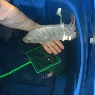 فروش تعدادی مولد ماهی تیلاپیا پرورشی