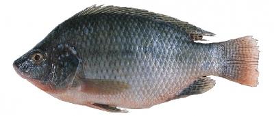 ماهی تیلاپیا
