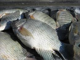 پرورش ماهی تیلاپیا در خوزستان