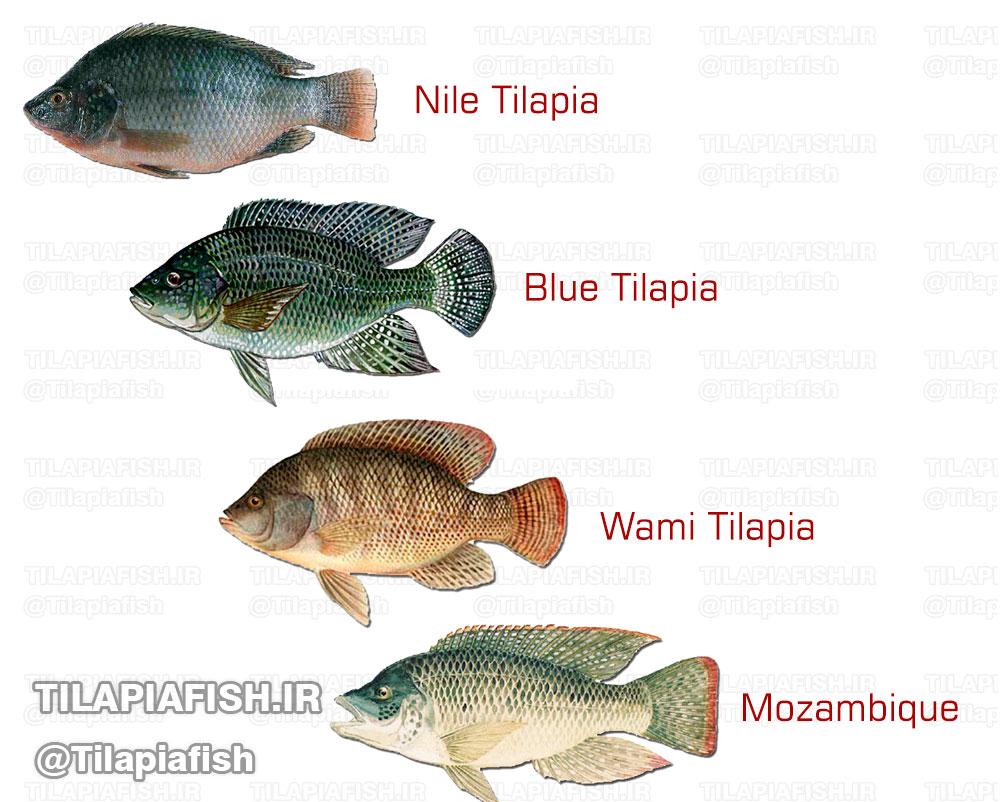 نژادها و گونه های مهم تیلاپیا