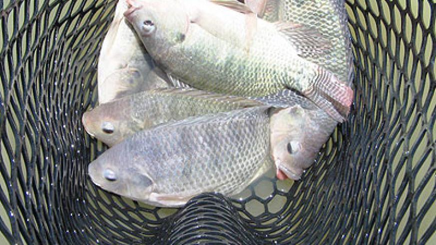 تولید ماهی تیلاپیا در قزوین
