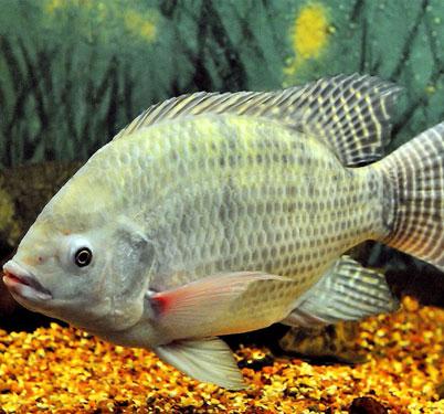 فصل پرورش ماهی تیلاپیا