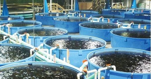 مزرعه پرورش تیلاپیا بخش خصوصی در یزد راه اندازی شد