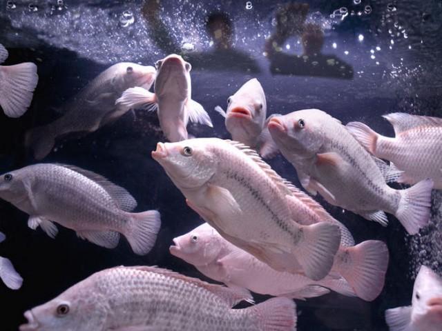 پرورش ماهی تیلاپیا در سمنان