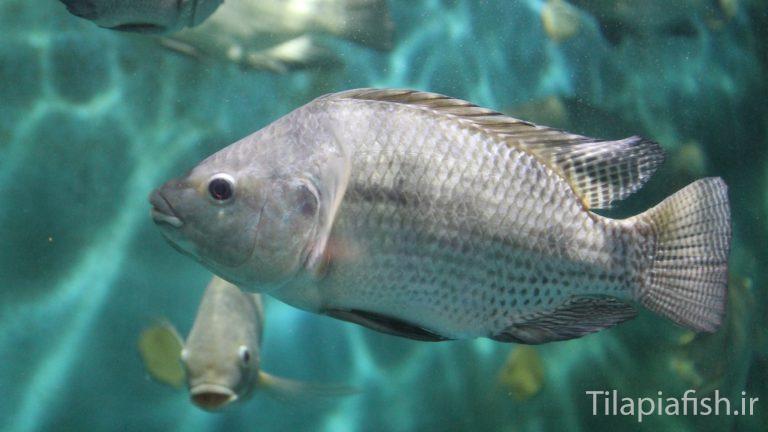 تاریخچه و آمار پرورش ماهی تیلاپیا نیل در دنیا